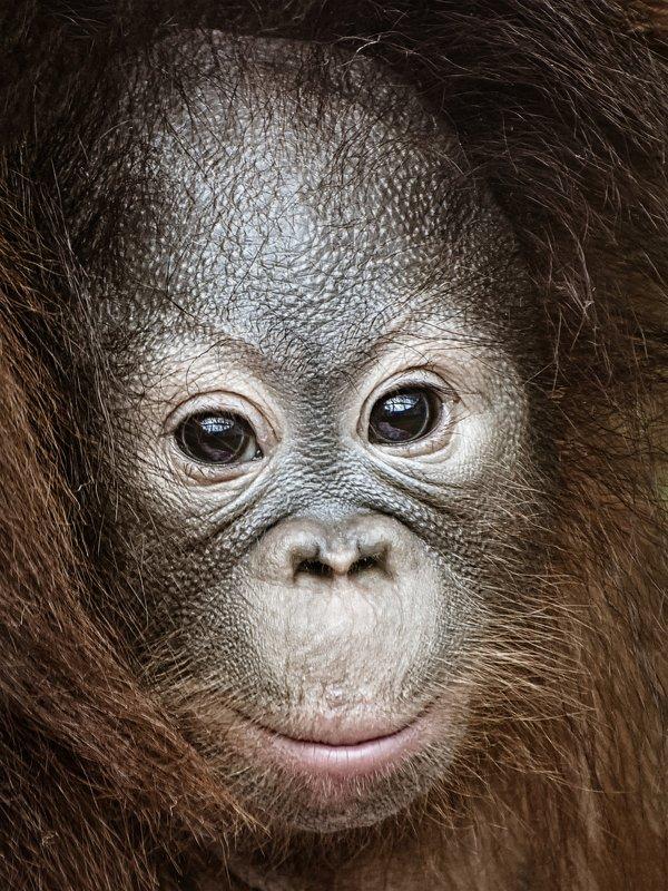 Орангутанphoto preview