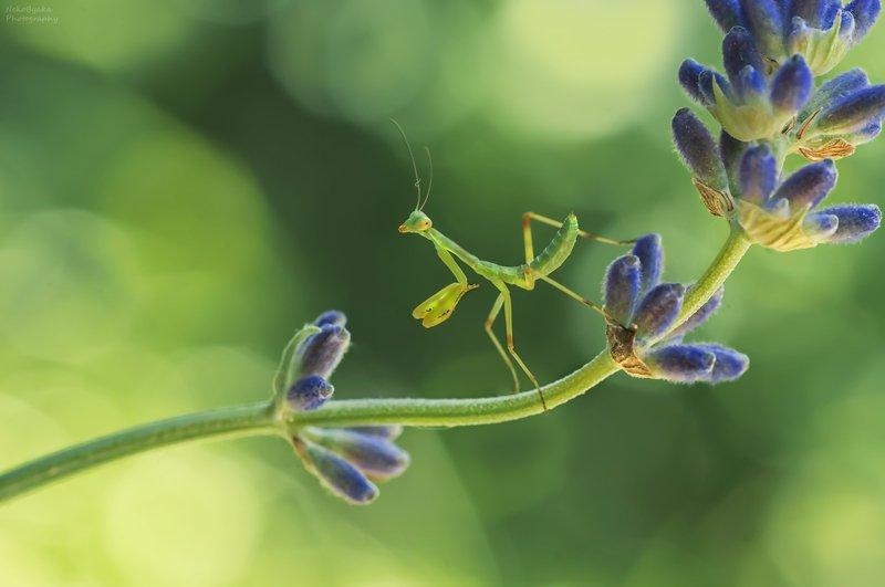макро, природа, цветы, лаванда, насекомые, богомол, боке, лето, macro, nature, flowers, lavender, insects, mantis, bokeh, summer, В лавандовых поляхphoto preview