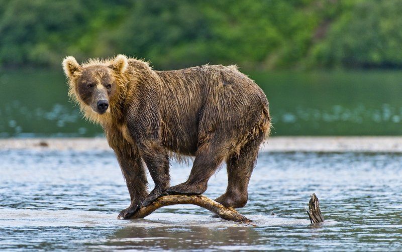 Bear Animal Mammal Salmon Kuril Lake Russia Kamchatka  Equilibriumphoto preview