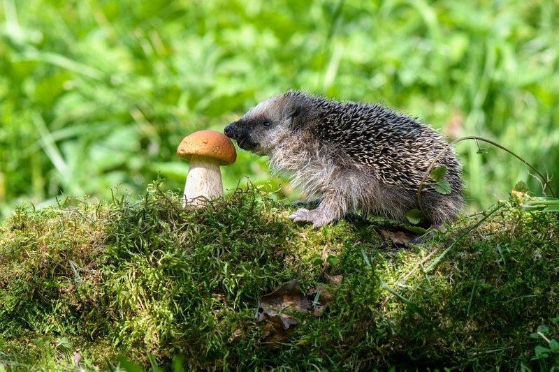 лес,животные,ёж,гриб знакомство с окружающим миромphoto preview