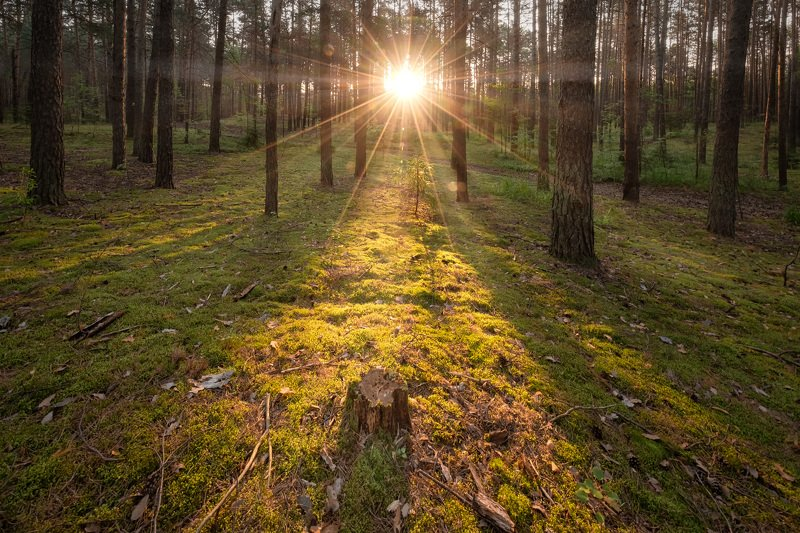 пермь, сосновый бор, лес, сосны, солнце, лучи, утро, деревья, зелень, пейзаж, природа Утро в Сосновом бору фото превью