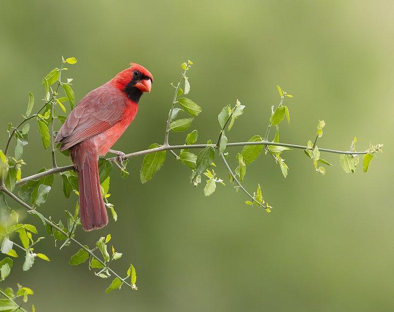 красный кардинал, northern cardinal, cardinal,кардинал, tx, texas Northern Cardinal male - Красный кардинал самецphoto preview