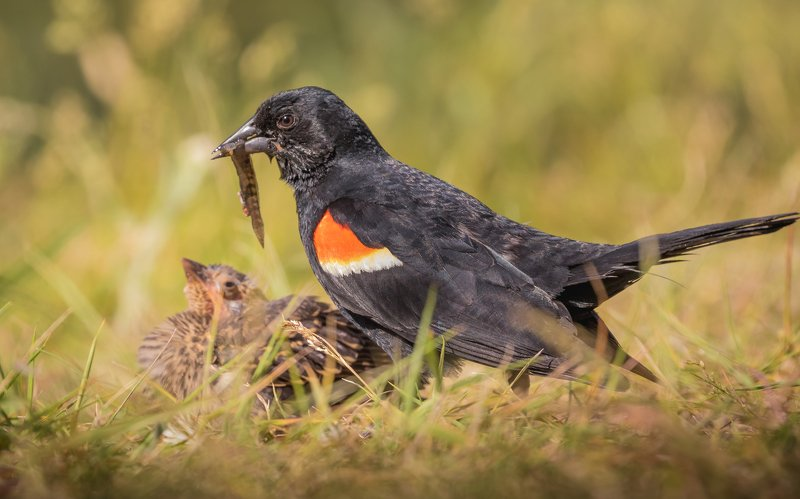 Red-winged Blackbird and the breakfastphoto preview