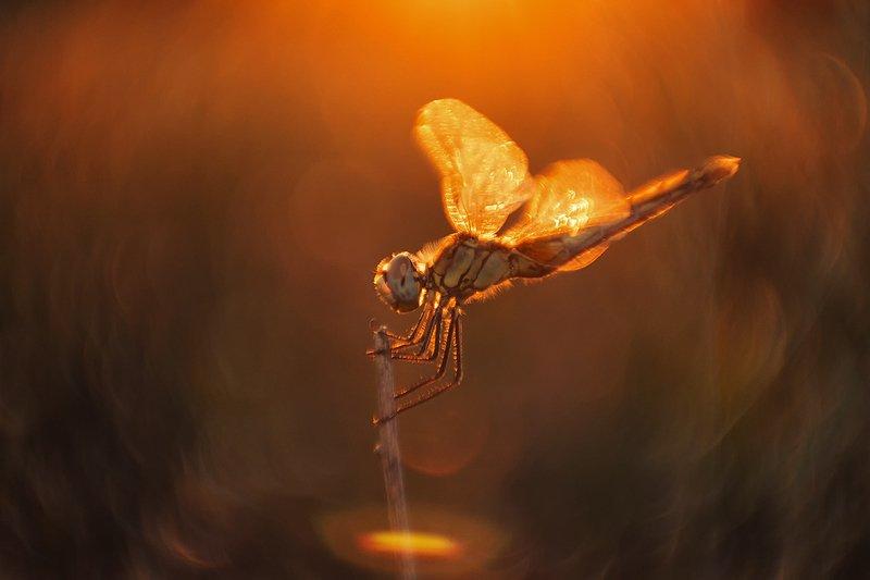 макро, стрекоза, вечер, свет Колдунья...или варим зельеphoto preview