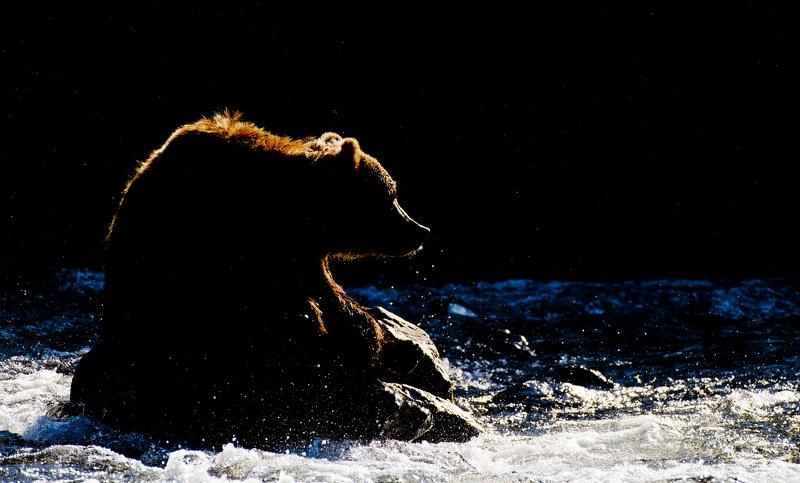 Bear Animal Mammal Salmon Russia Kamchatka rimlight Rim-light bear portraitphoto preview