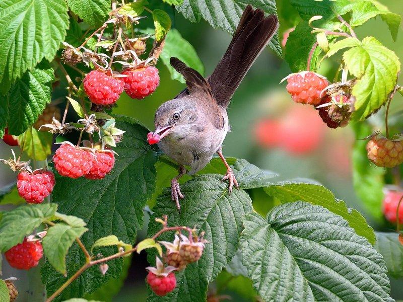 природа, фотоохота, славка, птицы, животные, цветы, лето, малина Малина поспелаphoto preview
