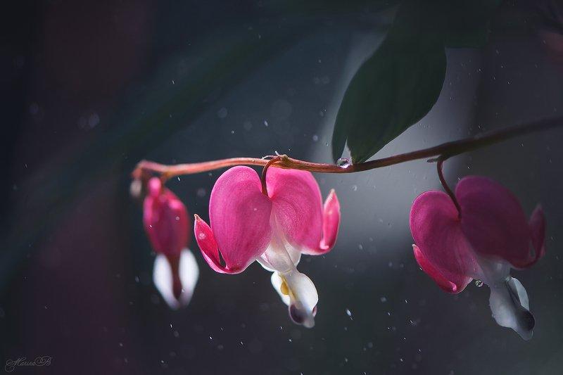 дицентра, цветок, капли, боке Дицентра или цветок - разбитое сердцеphoto preview
