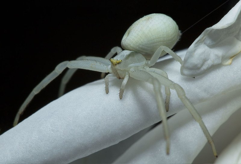 паук, роза Призрак белой розыphoto preview