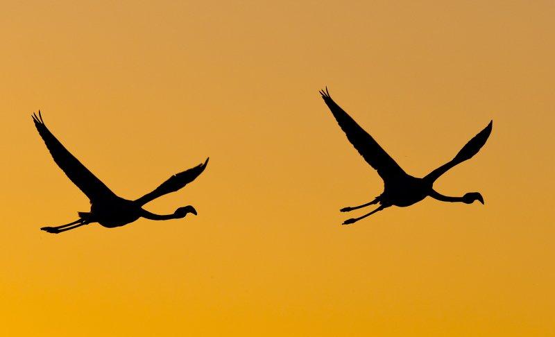 Animals birds flamingo backlight silhouette flight fly camargue sky sunset Flight in the sunset lightphoto preview