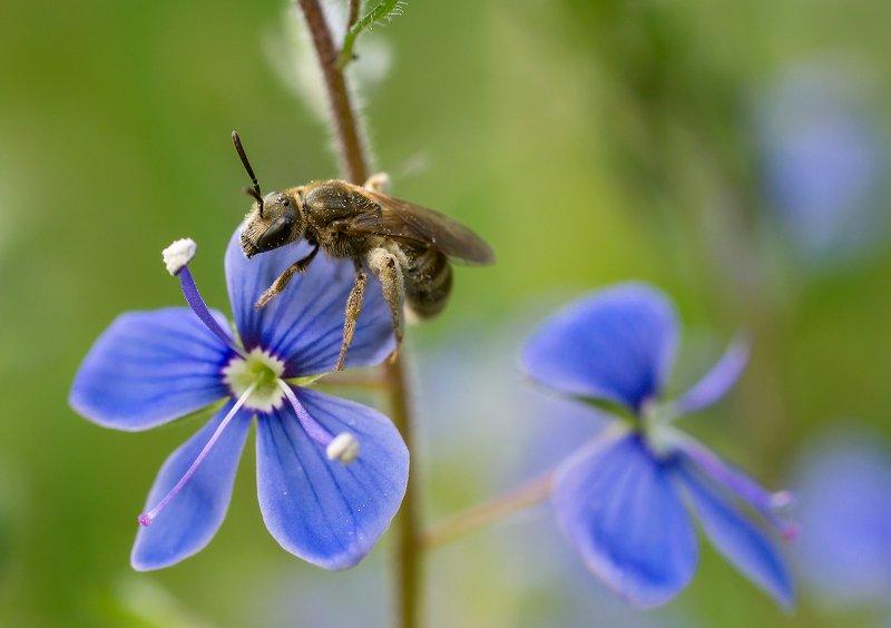 Пчела, цветы Пчела на вероникеphoto preview