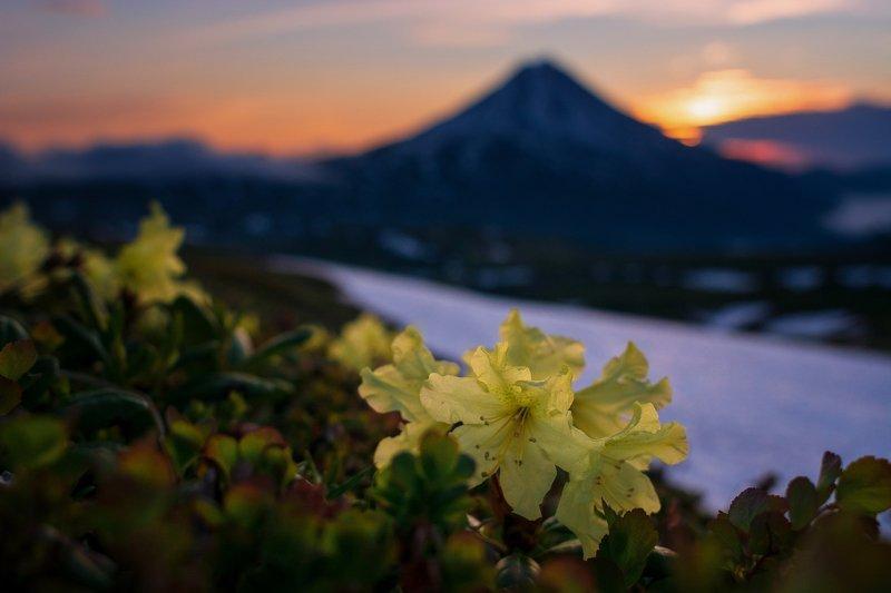 камчатка,рододендрон, цветы Рододендрон камчатскийphoto preview