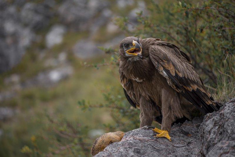Степной орел.photo preview