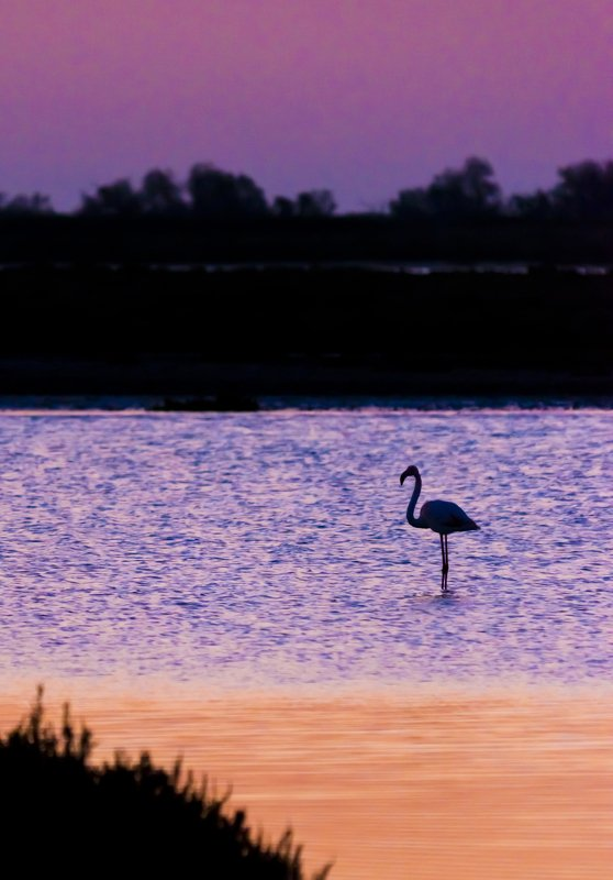 animals birds flamingo Camargue France sunrise colors water Flamingo and the colors of sunrisephoto preview