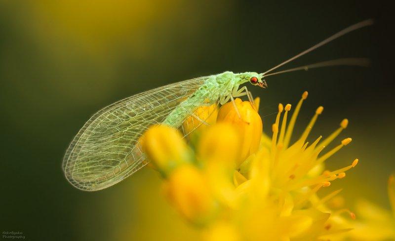 макро, природа, цветы, насекомые, златоглазка, macro, nature, flowers, insects, lacewing, Флёрницаphoto preview