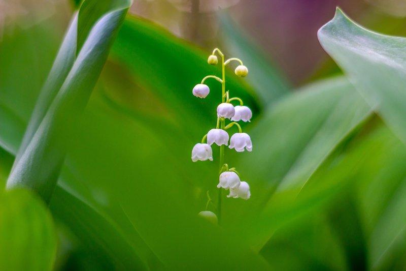 цветы, лес, ландыши, весна photo preview