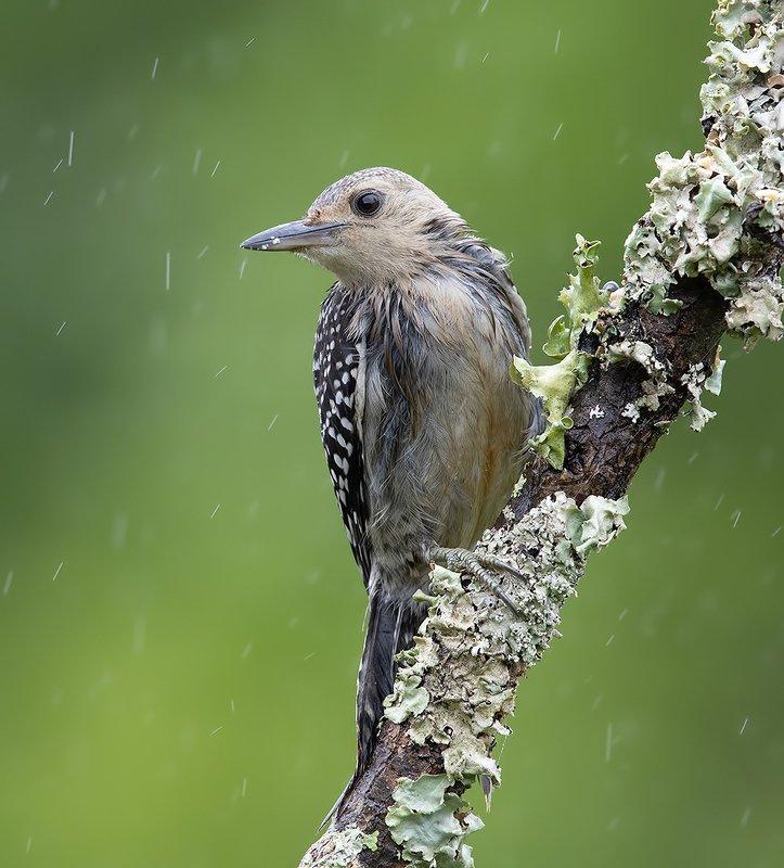 дятел, каролинский меланерпес, red-bellied woodpecker, woodpecker Juvenile -Red-bellied Woodpecker. Каролинский меланерпесphoto preview