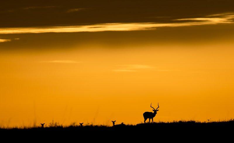 animals gazelle silhouette backlight colors orange sky sunset Gazelles in the sunset lightphoto preview