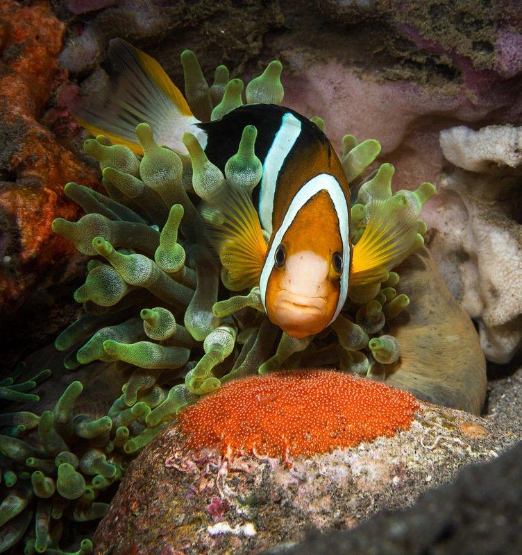 underwater, macro, anemone, anemonefish, eggs Икра краснаяphoto preview