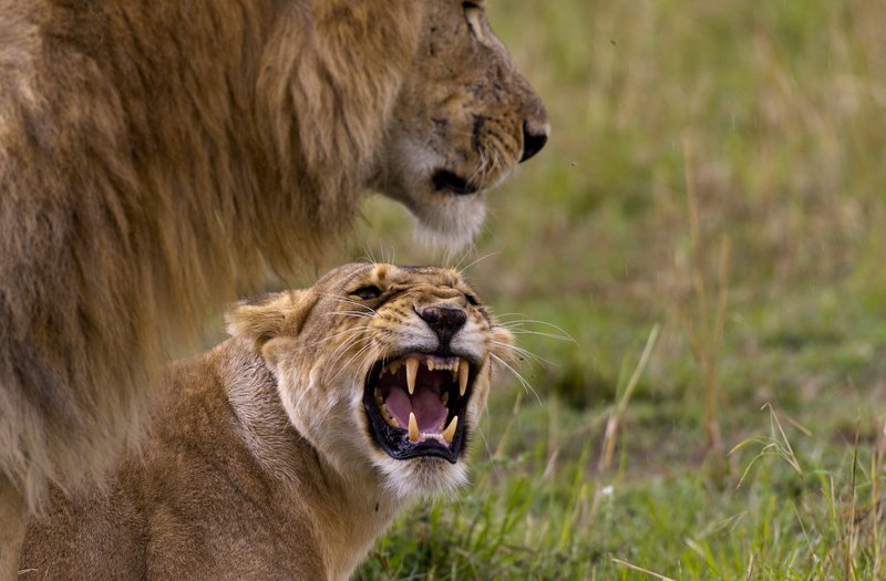 animals mammals cats lions kenya africa roar mating coupling Lionessphoto preview