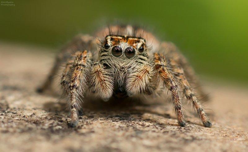 макро, природа, паук скакун, паук, macro, nature, jumping spider, spider, Маленький панкphoto preview