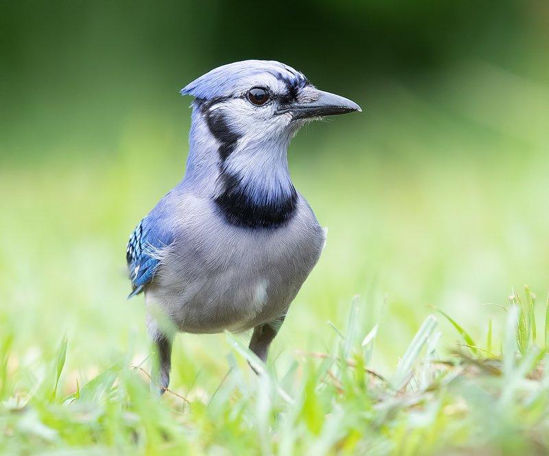голубая сойка, blue jay, сойка, jay Blue Jay - Голубая сойкаphoto preview