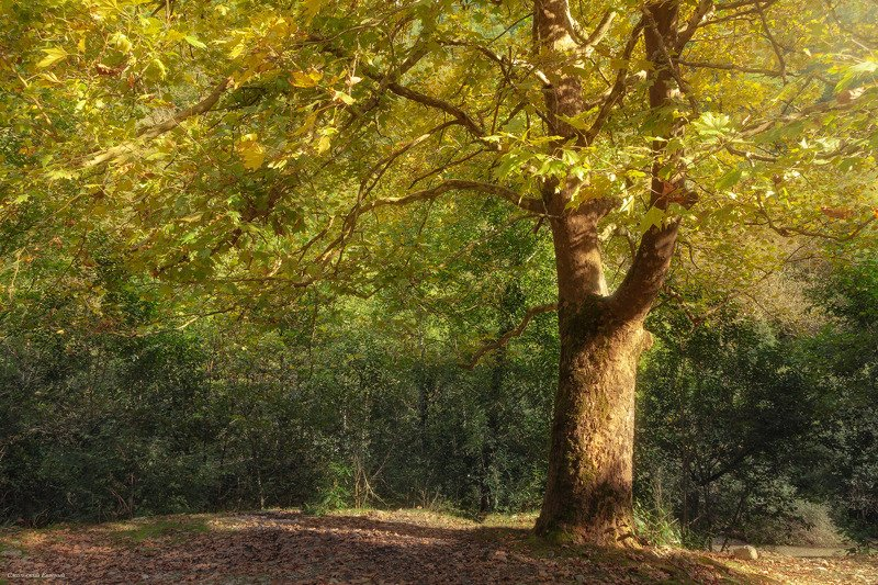 осень, абхазия, лес, дерево, солнечно. Золотой свет осениphoto preview