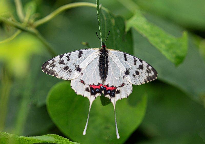 sericinus, montela, серицин, монтела, бабочка, гусеница Семья Серациновphoto preview
