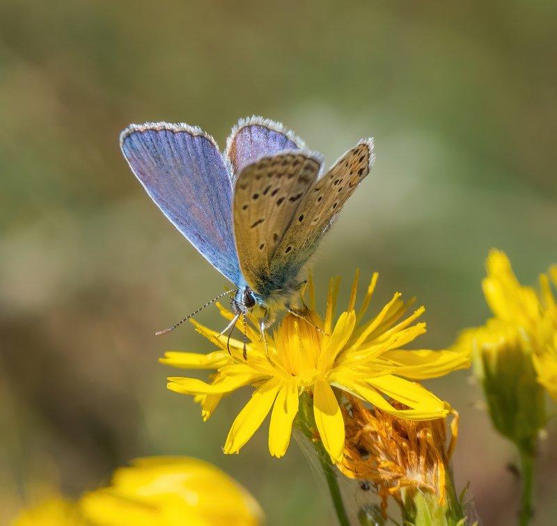 Голубянка & цветокphoto preview