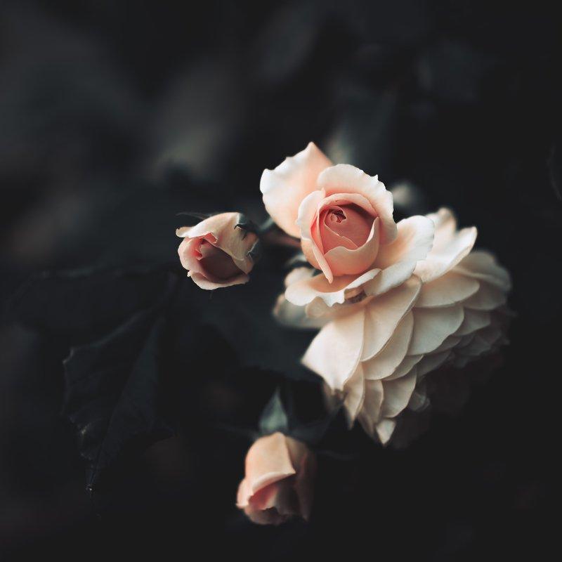 #roses #flowers #beauty #dark #satin #nature #garden #fineart Rosesphoto preview