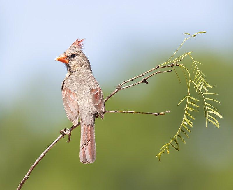 красный кардинал, northern cardinal, cardinal,кардинал, tx, texas Female Northern Cardinal - Самка. Красный кардиналphoto preview
