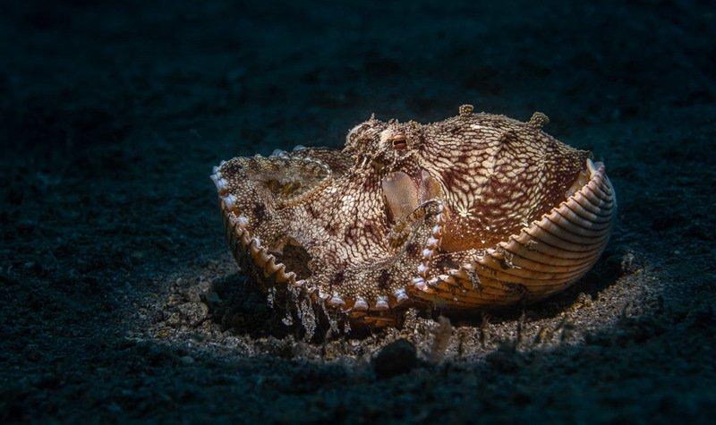 octopus, осьминог Coconut Octopusphoto preview