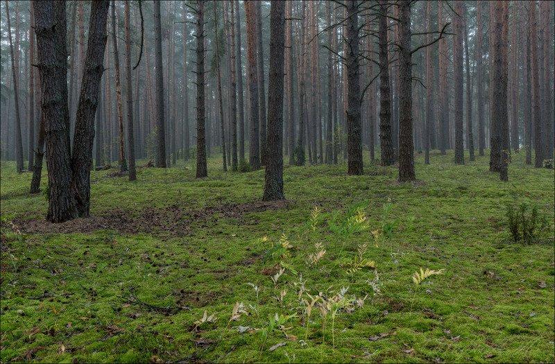 Сентябрьское утро в сосновом лесуphoto preview
