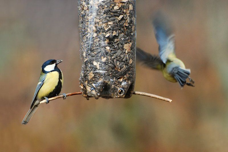 Parus majorphoto preview