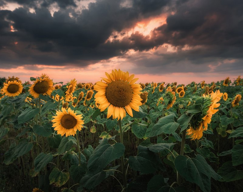 sunset, clouds, green, sunlight, light, village, rural, trees, nature, dramatic, sky, summer, sunflowers, storm, countryside, cottage, architecture, Sunset-f-loversphoto preview