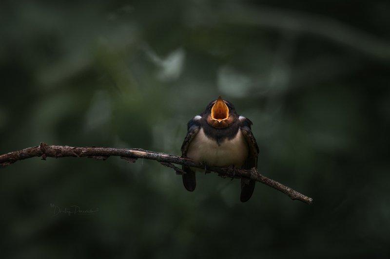 природа, лес, поля, огороды, животные, птицы, макро Юный Паваротти фото превью