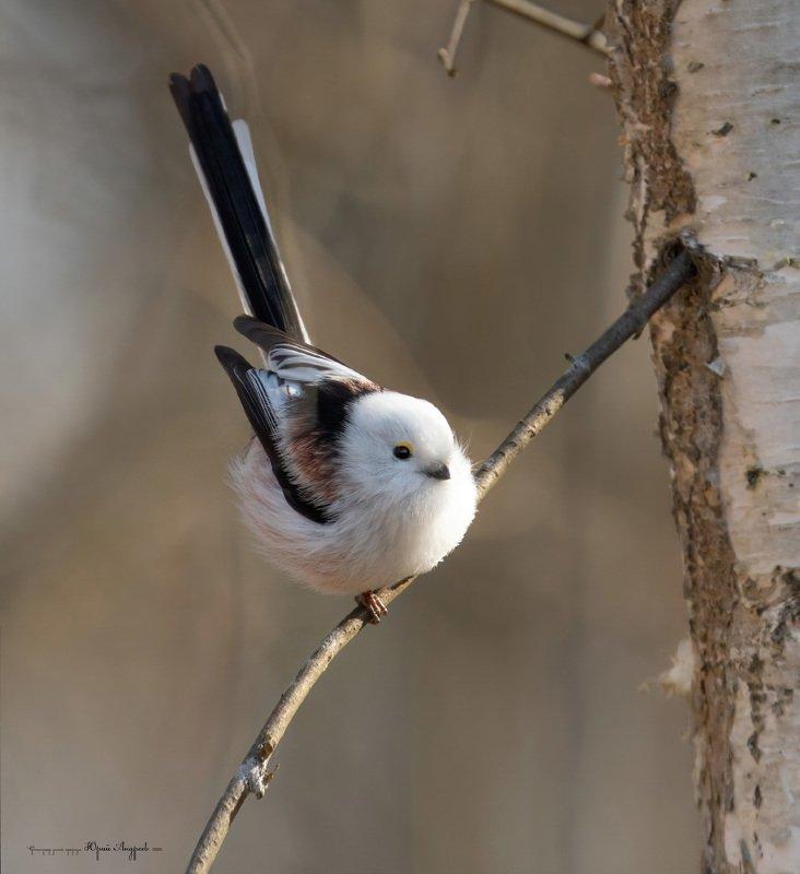 синица, длиннохвостая, ополовник, птица Длиннохвостая синицаphoto preview