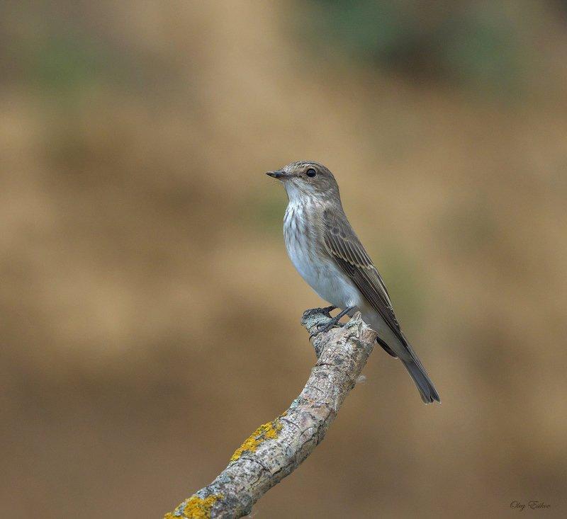 птицы мухоловка Серая мухоловкаphoto preview