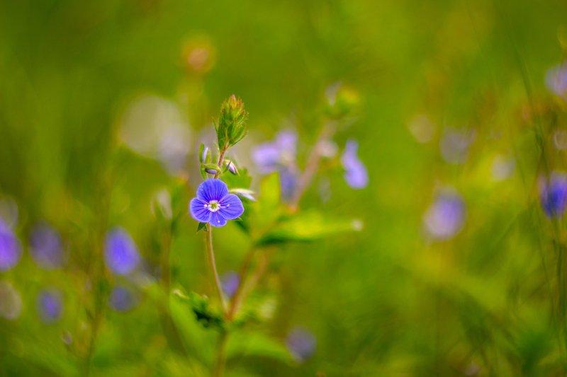 цветы, природа, весна, вероника photo preview