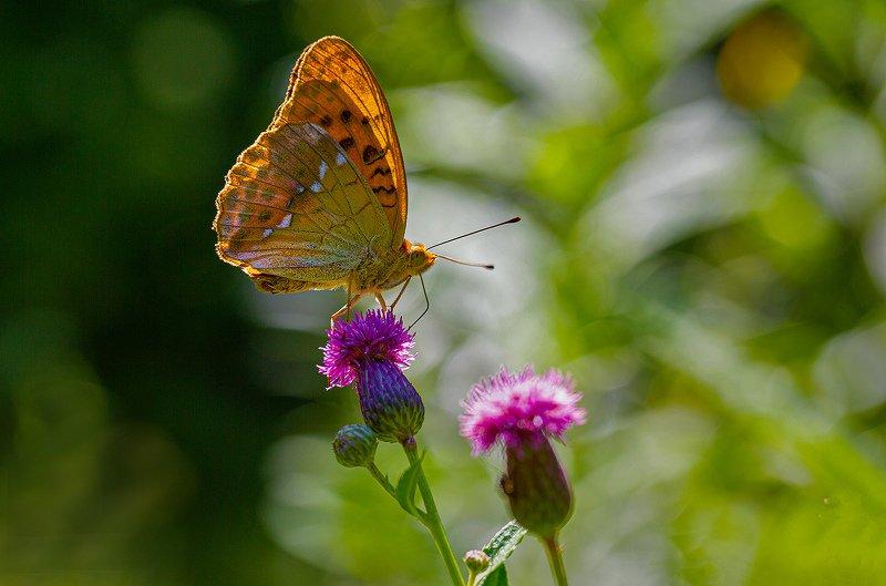 бабочка, перламутровка, август В жаркий полденьphoto preview