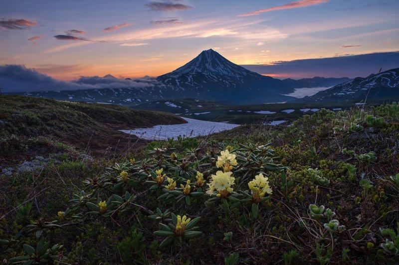 камчатка,рододендрон,цветы,kamchatka жёлтые рододендроныphoto preview