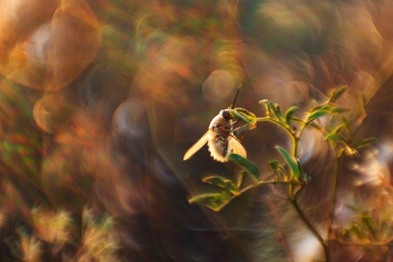 макро, насекомые Вечерний Жужжаphoto preview