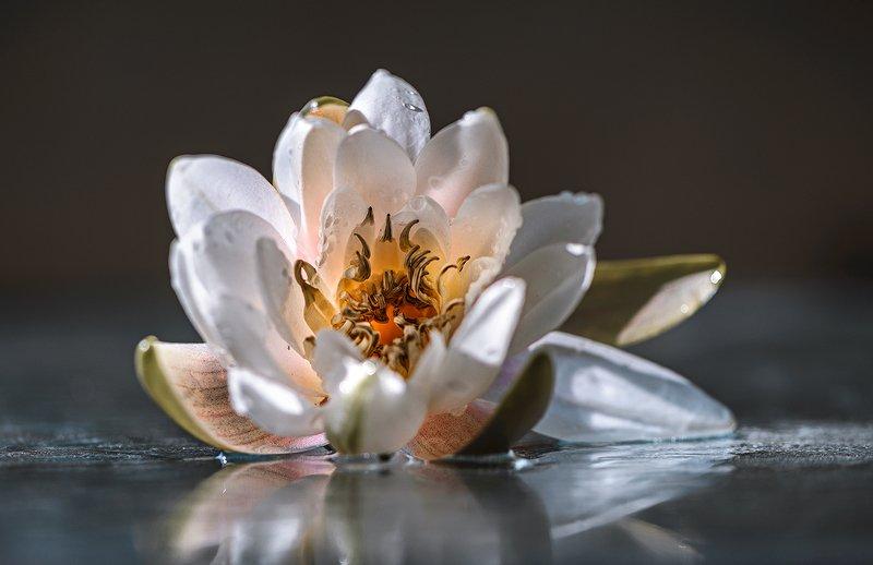 природа, макро, цветы, водяная лилия, капли воды Look insidephoto preview