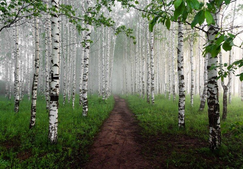 Березы,рассвет,природа,россия  Утренняя свежесть в берёзовой роще . photo preview