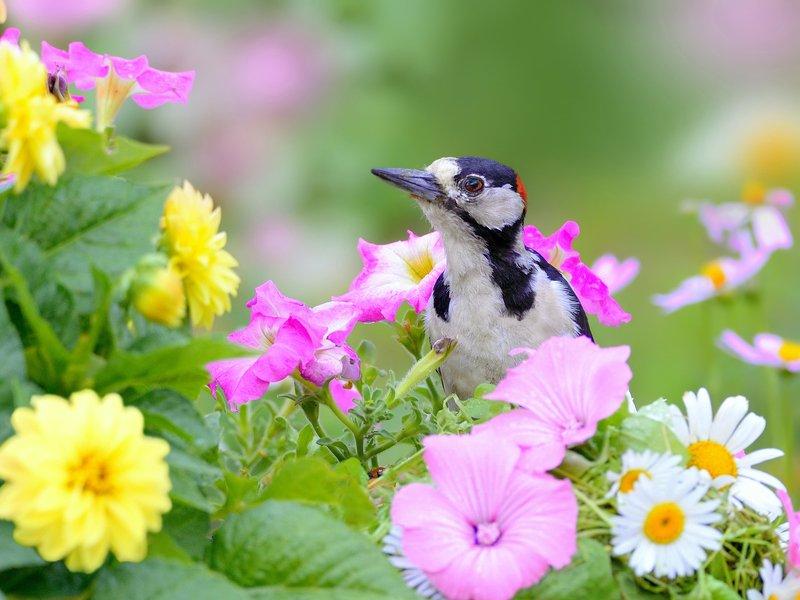 природа, фотоохота, пестрый дятел, птицы, животные, цветы, лето Среди цветовphoto preview