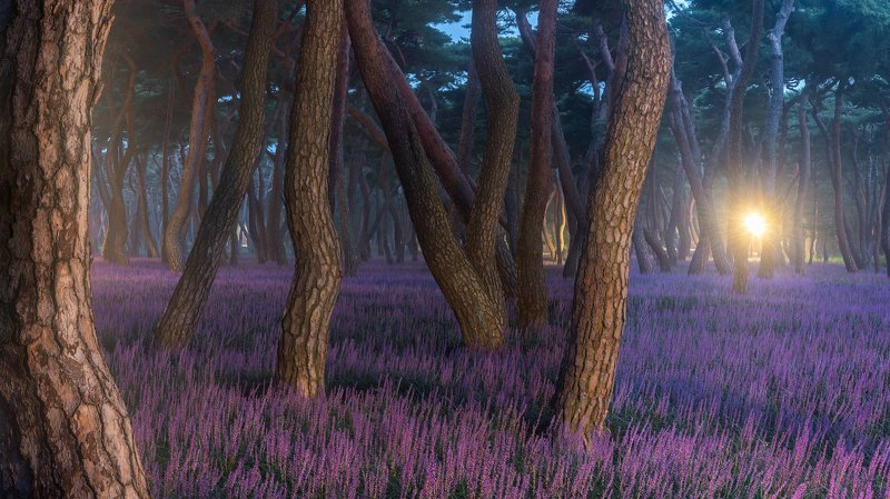 forest, night, light, park, trees, pine, korea, colors, tree trunk, dance Purple stagephoto preview