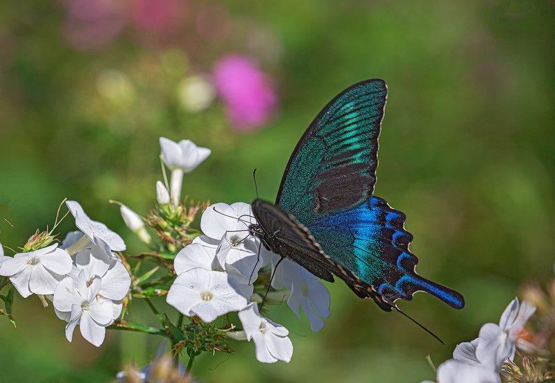 бабочка, , парусник, маака, papilio, maackii Обед аристократаphoto preview