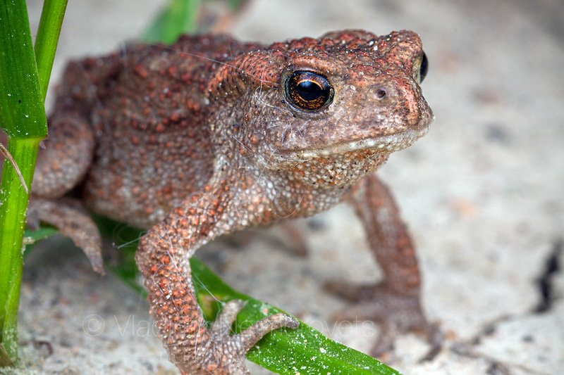 common toad, European toad, baby, under-yearling, Pudomyagi, Gatchina district, Leningrad Region, Russia photo preview