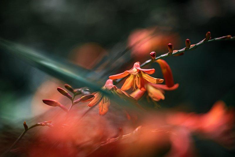 природа, макро, лето, цветы, монтбреция, красный, черный Полуночный штормphoto preview