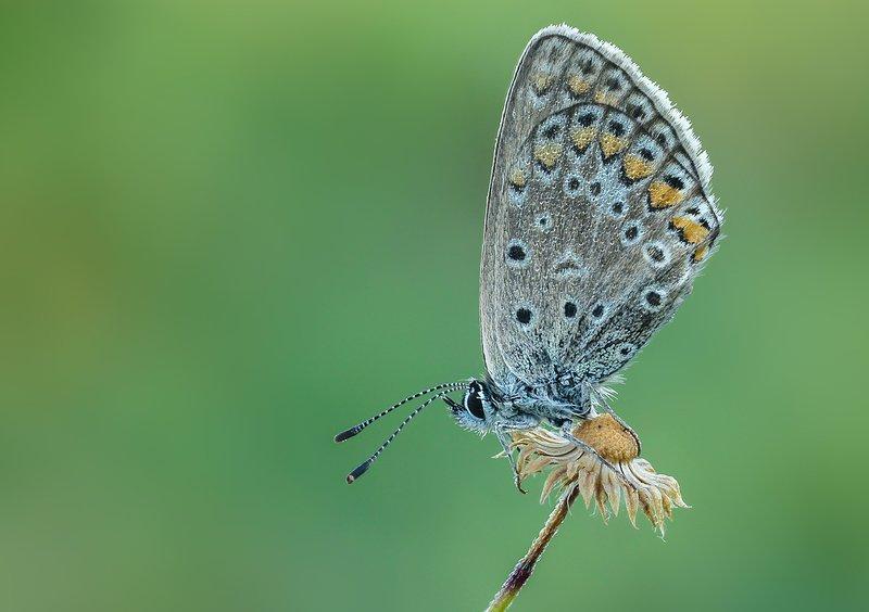 Бабочка голубянка Голубянкаphoto preview