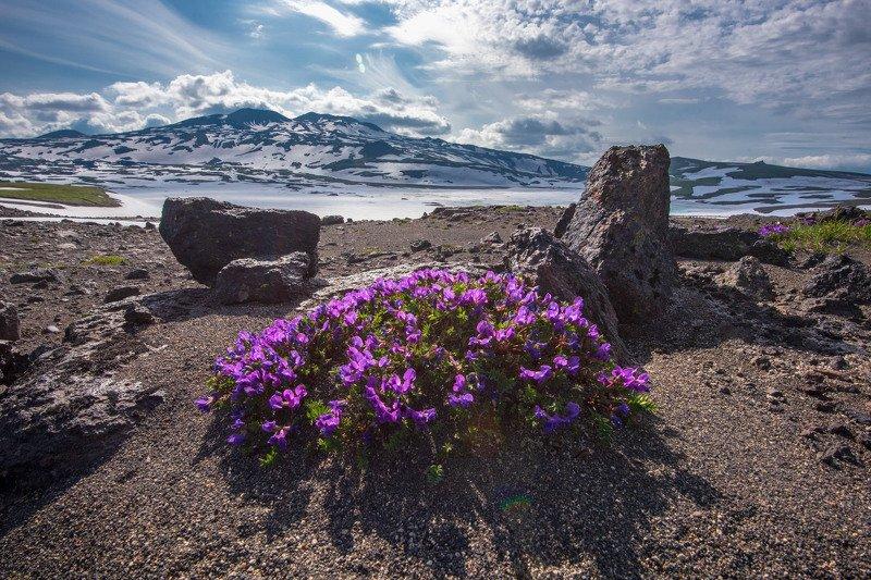 камчатка,цветы,kamchatka рокарий по Камчатскиphoto preview